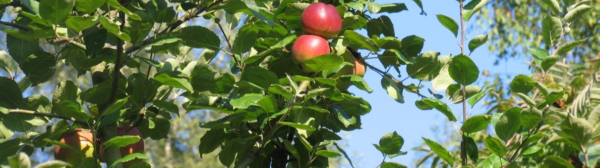 Appels in een boom